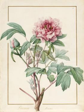 Paeonia Montan by Pierre Joseph Redoute