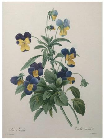 Pansy by Pierre-Joseph Redoute