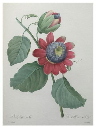 Passion Flower by Pierre-Joseph Redoute