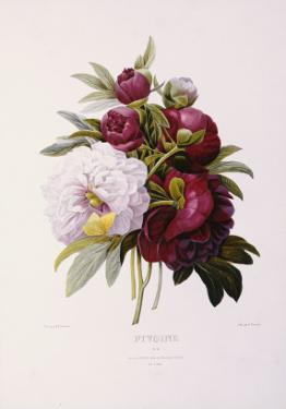 Peonies, Engraved by Prevost by Pierre-Joseph Redouté