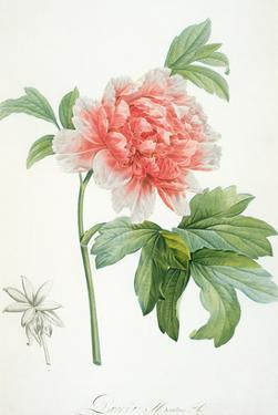 Peony, 1799 (Colour Stipple Print) by Pierre-Joseph Redouté