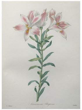 Peruvian Lilly by Pierre-Joseph Redoute