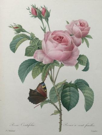 Petaled Rose by Pierre-Joseph Redoute