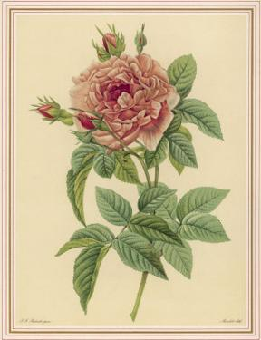 Pink Rose by Pierre-Joseph Redouté