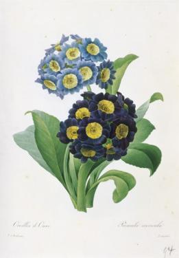 Primula Auricula by Pierre-Joseph Redouté