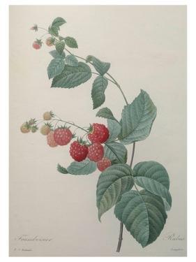 Raspberry by Pierre-Joseph Redoute