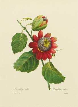 Red Passion Flower by Pierre-Joseph Redouté