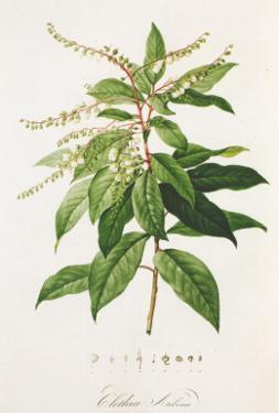 Redoute Clethra Arborea by Pierre-Joseph Redouté