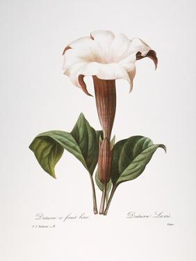 Redoute: Datura, 1833 by Pierre-Joseph Redouté