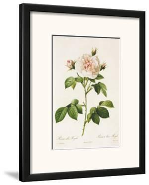 Redoute Rosa Alba Regalis by Pierre-Joseph Redouté