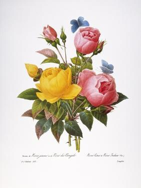 Redoute: Roses, 1833 by Pierre-Joseph Redouté