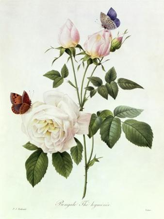 Rosa Bengale the Hymenes by Pierre-Joseph Redouté
