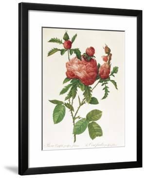 Rosa Centifolia Prolifera Foliacea by Pierre-Joseph Redouté