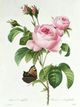 Rosa Centifolia by Pierre-Joseph Redouté