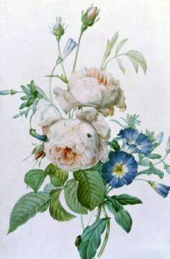 Rosa Damascena by Pierre-Joseph Redouté