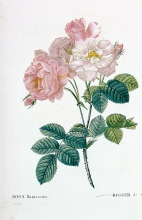 Rosa Demascena by Pierre-Joseph Redouté
