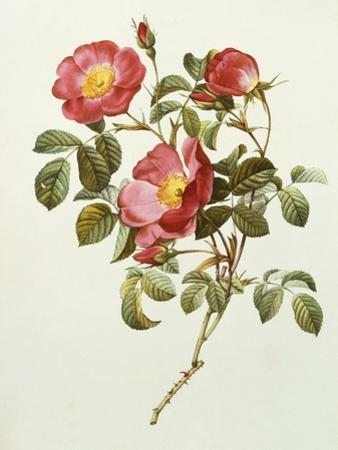 Rosa Gallica Pumila, from Les Roses, 1817-24 by Pierre-Joseph Redouté