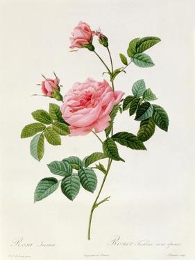 Rosa Inermis by Pierre-Joseph Redouté