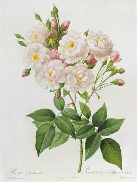 Rosa Noisettiana by Pierre-Joseph Redouté