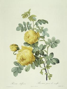 Rosa Sulfurea by Pierre-Joseph Redouté
