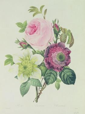 Rose, Anemone and Clematide by Pierre-Joseph Redouté