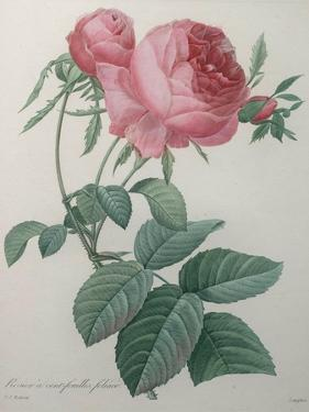 Rose with a Hundred Leaves and Foliage by Pierre-Joseph Redoute