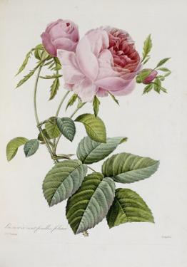 Rose by Pierre-Joseph Redouté