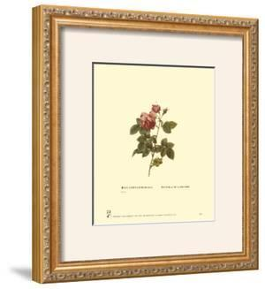 Roses by Pierre-Joseph Redouté