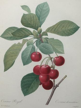 Royal Cherry by Pierre-Joseph Redoute