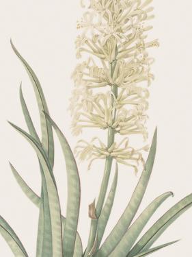 Sansevieria Zeylancia - Focus by Pierre Joseph Redoute