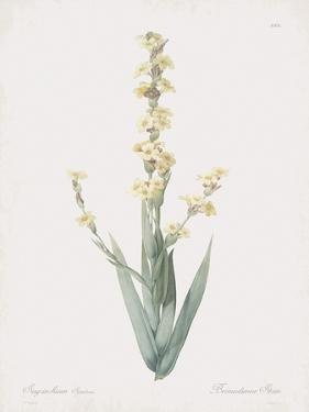 Sisyrinchium Striatum by Pierre Joseph Redoute
