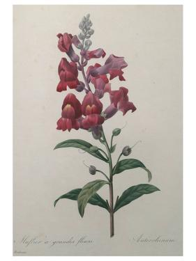 Snapdragon by Pierre-Joseph Redoute
