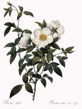 Snow White Rose by Pierre Joseph Redoute