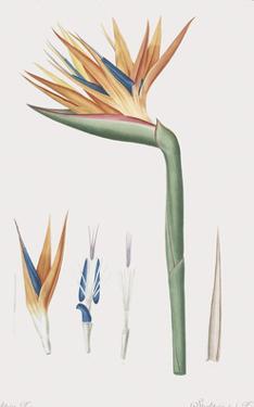Strelitzia Regina Flos by Pierre Joseph Redoute