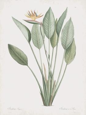 Strelitzia Regina by Pierre Joseph Redoute