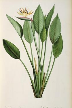 Strelitzia Reginae, from 'Les Strelitziaceae' by Pierre-Joseph Redouté