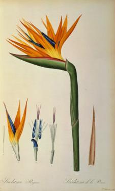 "Strelitzia Reginae, from ""Les Strelitziacees"" by Pierre-Joseph Redouté"