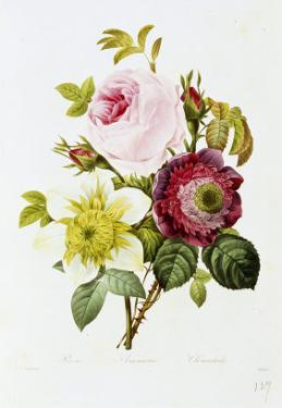 Study of Pink Roses and Convulvulus by Pierre-Joseph Redouté