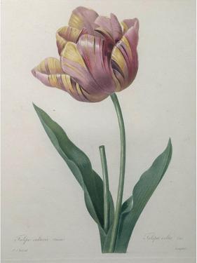 Tulip Cultivar by Pierre-Joseph Redoute