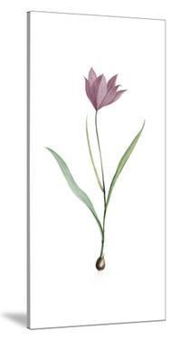 Tulipa Purpura by Pierre Joseph Redoute