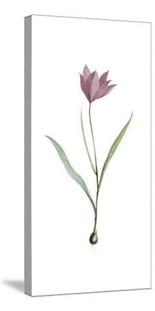 Tulipa Purpura
