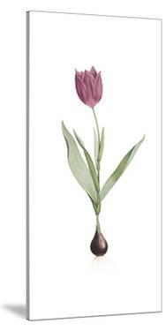 Tulipa Rosea by Pierre Joseph Redoute