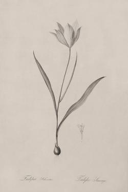 Tulipa Sylvestris by Pierre Joseph Redoute