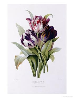 Tulips by Pierre-Joseph Redouté