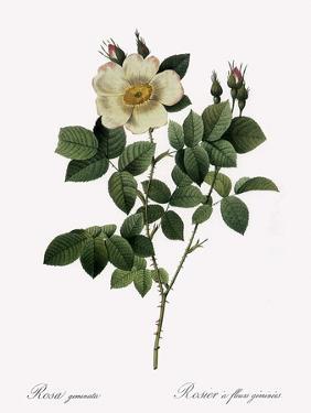 Twin-Flowered Rose by Pierre Joseph Redoute