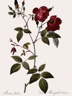 Velvet China Rose by Pierre Joseph Redoute