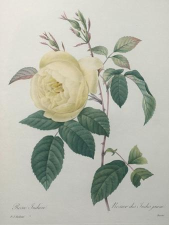 Yellow Rose of the Indies