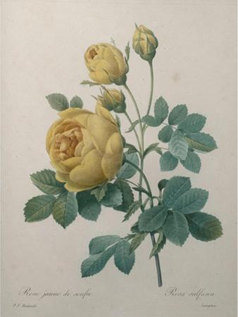 Yellow Sulphur by Pierre-Joseph Redoute