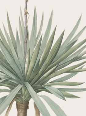 Yucca Gloriosa - Focus by Pierre Joseph Redoute