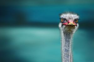 Ostrich Protecting Two Poor Chicken from the Wind by Piet Flour